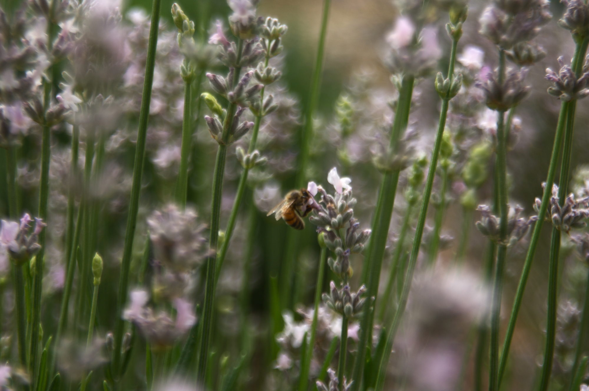 Bees love Lavendar Flowers