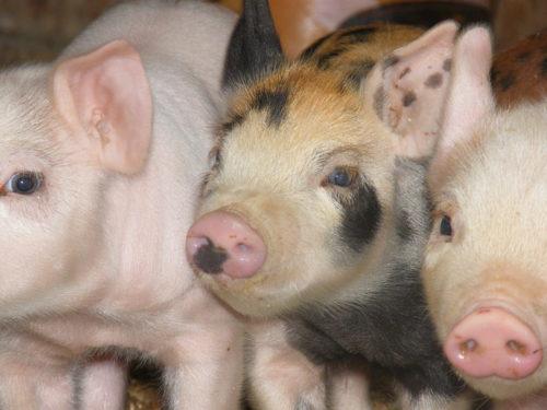 Farm Raised Pigs in olathe, co